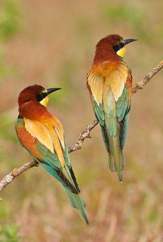Merops apiaster (abellarol)