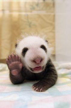 Cute panda waving, say hi, wave, baby animal, great day, smile