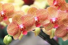 The Orchid Flower, Its Meanings and Symbolism Orchids are the largest family of blooming flowers with over species and over varieties. They are often grown as houseplants, or added to floral displays. But, not all orchids are tropical Moth Orchid, Phalaenopsis Orchid, Orchid Plants, Wild Orchid, Types Of Orchids, Purple Orchids, Blooming Flowers, Exotic Flowers, Beautiful Flowers