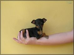 Pinscher puppy!  So fun when they are this size- just have to be EXTRA careful not to step on them!!