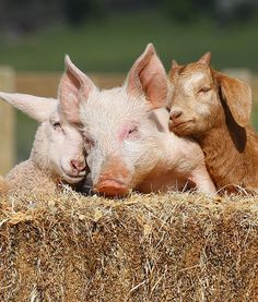 Lizzie the lamb, Portia the piglet and Boots the goat snuggle up together at Edgar's Mission Farm Sanctuary near Kilmore, Victoria where they are recovering after each had been found abandoned. The unusual trio have become fast friends.