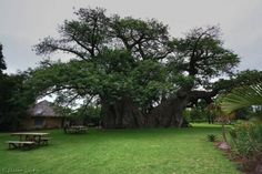 There is a 6000 year old tree in South Africa that has a bar inside! Sip on a Libation at Sunland Bar- Inside a 6000 Year Old Baobab Tree! Le Baobab, Baobab Tree, Tree Bar, Giant Tree, Eco Architecture, Old Trees, Belleza Natural, Cool Bars, Tree Of Life