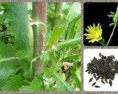 Lactuca virosa Seeds Wild Lettuce Seeds Bitter Lettuce Medicinal US Seller