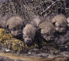 Newborn wolf pups are blind, deaf and helpless. They need their mother's warmth to keep a steady body temperature. The pups spend their first days living in the den, drinking their mother's milk.