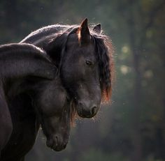 Horses | Beautiful Frisians