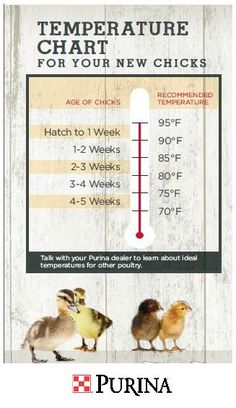 How To Distinguish Male Chicks From Female Chicks In 1 Week Old Cochins He Tried This On