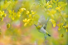 ~  Happy gardener  ~ - ~  Happy gardener | 快樂的園丁 ~ 鳥類名稱 Bird Name: Japanese…