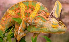 Study shows male chameleons fighting prowess tied to color changing abilities Chameleon Changing Color, Chameleon Color, To Color, Color Change, Veiled Chameleon, Cool Science Facts, Discovery News, Color Studies, Zoology