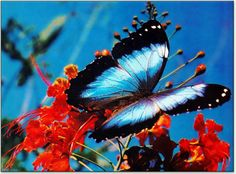 butterflies | blue morpho butterfly morpho menelaus this brilliant blue butterfly ...