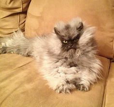 Colonel Meow passes away, leaves thousands of minions in mourning (Col Meow passed away Jan 29, 2014). Pinned Jan 31, 2014 #ColonelMeow