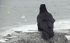 Raven communication