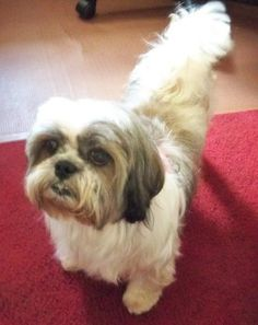 Betsy is an adoptable Shih Tzu searching for a forever family near Jacksonville, FL. Use Petfinder to find adoptable pets in your area.