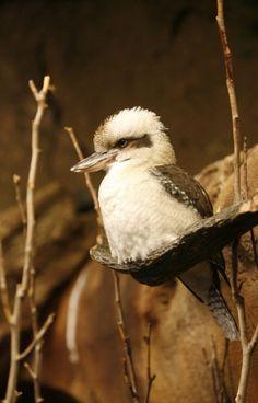 why so serious, mr kookaburra? Fat Bird, Why So Serious, Kingfisher, Rainbow Colors, Art Ideas, Wildlife, Birds, Friends, Animals