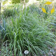 BIG BLUESTEM Andropogon Gerardii 50,100 SEEDS | Home & Garden, Yard, Garden & Outdoor Living, Plants, Seeds & Bulbs | eBay! #outdoorsliving