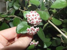 Hoya nummularoides; highly, sweet fragrant small flowers appear in this compact, easy to grow Hoya. Ideal for hanging baskets. Doesn't flower for as long as Hoya lacunosa or Hoya obscura, but when it does it has many flowers.