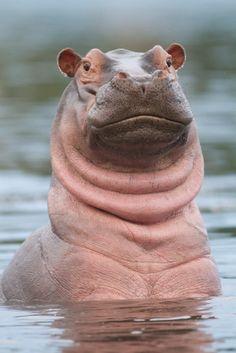 It's a hippo meerkat! - Africa | Portrait of a hippopotamus in the water…