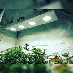 Karma Genetics Karmarado OG Grow #2 (TK X SFV OG X WHITE OG)  High Pressure Aeroponics  1000 Watts  Switching to 500w of LED COB grow lights from HPS. The Karmarado has been flowering for about a week under HPS before the switch. There will be 2 of these bad boys  in a day or 2. Very bright and runs very cool. I think I can cut my juice in half and get the same yields with better quality.  Full grow journal at:  http://ift.tt/2a1ORuF ?  TAP LINK IN BIO @howtogrowweed420  #weed #marijuana…