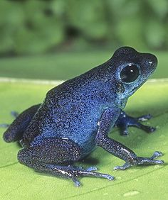 ☆ Strawberry Poison Arrow Frog, Blue Form, Dendrobates pumilio, Panama :¦: Gail Melville Shumway Photography ☆