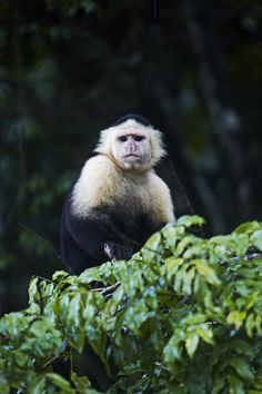 White-faced capuchin monkey sitting in tree on Las Cruces Trail (Camino de Cruces). Panama. | Read more on Panama's wildlife, and what to see as a traveller, here: http://www.lonelyplanet.com/panama/travel-tips-and-articles/what-to-do-on-the-panama-canal-adventure-wildlife-and-village-life   - Explore the World with Travel Nerd Nici, one Country at a Time. http://TravelNerdNici.com