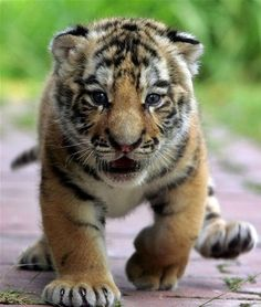 tiger cub, all Cats are cute! I Love Cats, Big Cats, Cats And Kittens, Siamese Cats, Beautiful Cats, Animals Beautiful, Cute Baby Animals, Animals And Pets, Wild Animals