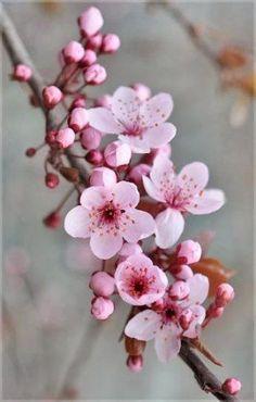 Cherry blossom tree wallpaper spring 55 ideas for 2019 - Blumen Cherry Blossom Art, Cherry Flower, Blossom Trees, Cherry Blossom Wallpaper, Flower Blossom, Japanese Cherry Blossoms, Cherry Blossom Tattoos, Cherry Cherry, Cherry Tree