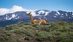 Guanaco (Lama guanicoe) in Torres del Paine National Park, Chile, November 2013 by Ignacio Palacios on 500px