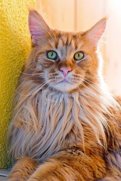 redmainecoon - Google Search
