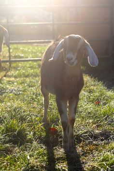 Judy Garland is really excited to explore her new surroundings the first morning at the farm.
