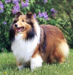 Shetland Sheepdog or sheltie, also called the little lassie and the miniature collie. I want a dog like this so bad Mini Collie, Collie Dog, Rough Collie, Smooth Collie, Miniature Collie, Border Collie Colors, Sheepdog Tattoo, I Love Dogs, Cute Dogs