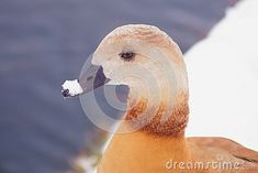 background-portrait-ruddy-shelduck-snow-its-beak-tadorna-ferrugine Parrot, Snow, Bird, Portrait, Animals, Parrot Bird, Animales, Headshot Photography, Animaux