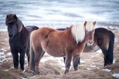 Hinrich Carstensen Photography » Iceland Road Trip - Icelandic horse