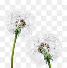 - material de Alta definição., O Dente - De - Leão, Plantas, FloresPNG e Vector