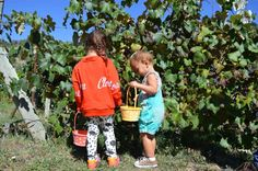 Apple picking at Delicious Orchards in Paonia, Colorado