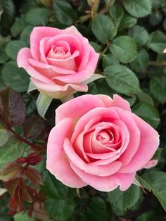 Chirpings from a Strathalan Sparrow: We were remembering on New Years Day about past ye. Beautiful Rose Flowers, Pretty Roses, Love Rose, Amazing Flowers, My Flower, Beautiful Flowers, Pink Roses, Pink Flowers, Rose Reference