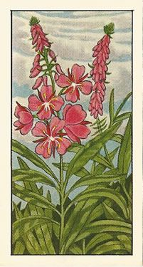 Rose-bay Willow-herb Junk Journal, Journal Ideas, Vintage Illustrations, Illustration Art, Rose Bay, Card Organizer, Random Pictures, Vintage Ephemera, Paper Background
