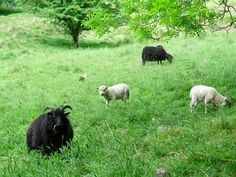 Black sheep and white lambs Hutton-le-Hole
