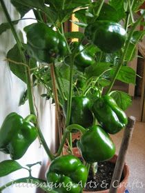 It is not difficult to grow vegetables in pots.you just have to constantly fertilize them so the plant bears flowers and then later fruits. Fruit Garden, Edible Garden, Garden Pots, Vegetable Garden, Growing Vegetables In Pots, Container Gardening Vegetables, Growing Herbs, Growing Capsicum, Growing Peppers