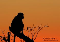 Wild Wings Safari offers unforgettable scheduled Kruger Park Safaris: 4 or - or you can custom your own. Expert, knowledgeable guides, open safari vehicles, overnight in Kruger itself for a real African safari experience. Dawn And Dusk, African Safari, Sunsets, Silhouettes, Monkey, Park, Tatoo, Jumpsuit, Silhouette
