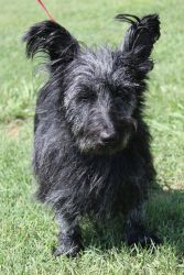 Gidget is an adoptable Scottish Terrier Scottie Dog in Tanner, AL. For more information, or if you have any questions, please contact Peace Love and Animals!...