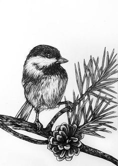 Chickadee Bird Pencil Drawing 79
