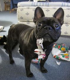 'Her First Christmas!!!' French Bulldog Puppy.