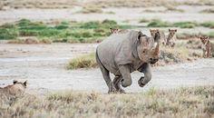 Rhino and Lions in Etosha National Park Namibia