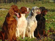 Irish Setter, Irish Red & White Setter, English Setter, Gordon Setter