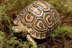 Leopard Tortoise (Stigmochelys pardalis) Southeast Africa Wood Turtle, Turtle Love, Types Of Turtles, Tortoise Tattoo, Animals Beautiful, Cute Animals, Small Lizards, Carnival Of The Animals, Tortoise Turtle
