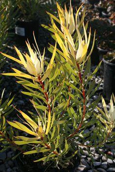 Leucadendron salignum 'GOLDEN TIP' Drought Tolerant Garden, Plant Order, Happy Flowers, Trees And Shrubs, Banks, Acre, Planting Flowers, Bloom, Nursery