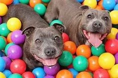 24 Reasons Why No One Should Ever Have A Pit Bull As A Pet