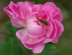 7956 - Pink rose Natural colors ! 玫瑰 꽃 연분홍 장미 màu hồng ピンク 연분홍 粉红色   - roses 玫瑰花 - Over 4 900 views -
