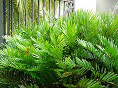 Coontie Palm - A tropical fern with dark green foliage very hardy...