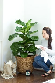 how to care for a fiddle leaf fig tree, coconut oil on fig tree