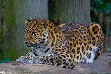 Amur leopard, Critically endangered